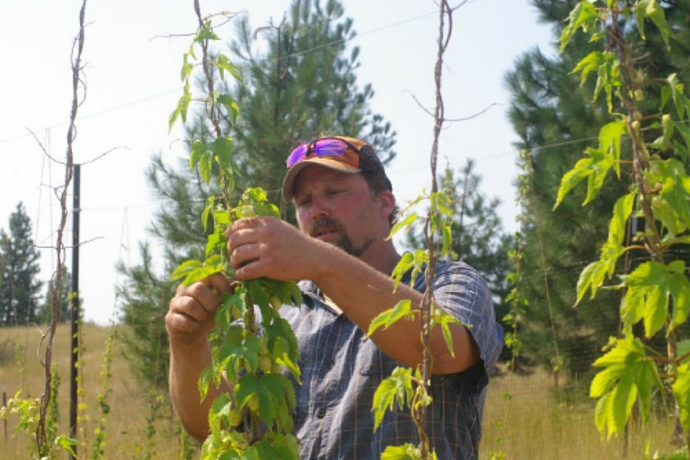 Fresh Hop Beer 2011 - We spent the hot summer day hand selecting 9 varieties of organic hops growing at our friends Eric and Jennifer Miller Larch Creek Farms in Dufur, Oregon. We drove them straight to the brewery and loaded up our conditioning tank with Seizoen and all the fresh hops we could stuff in
