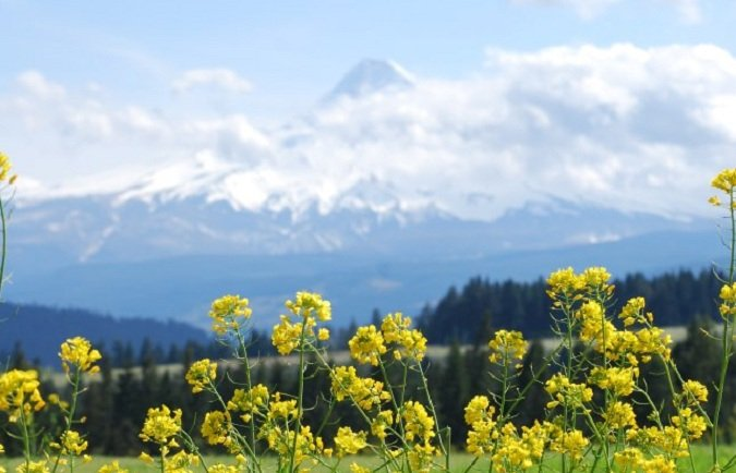 Atop York Hill, mustard flowers frame a cloud capped Mt. Hood.