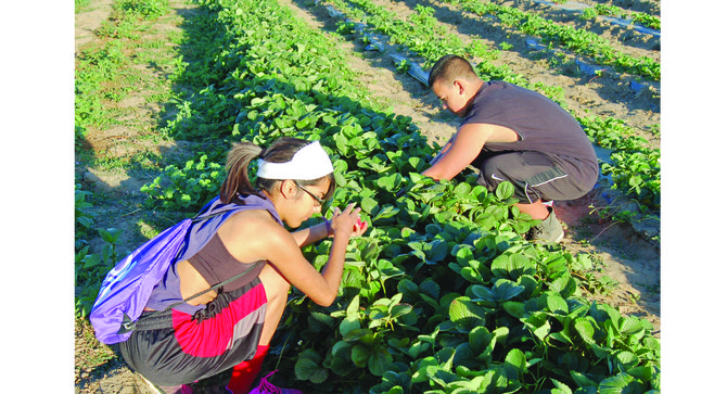 Monique Martinez and Gage Arevalo (above) were at the strawberry patch next to Sunnyside Christian Reformed Church at 6 a.m. this past Saturday morning to pick strawberries.