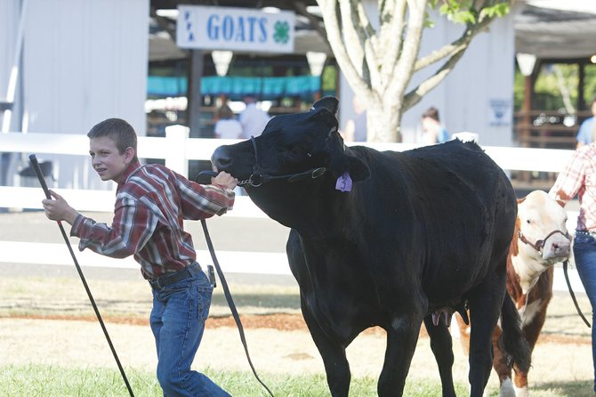 FFA and 4-H youth will show their cattle and other livestock at the annual Polk County Fair beginning Thursday and running through Sunday at the fairgrounds.