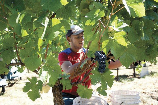 Left Coast Cellars' Jorge Ramirez picks grape clusters Saturday during this year's unusually early wine harvest.