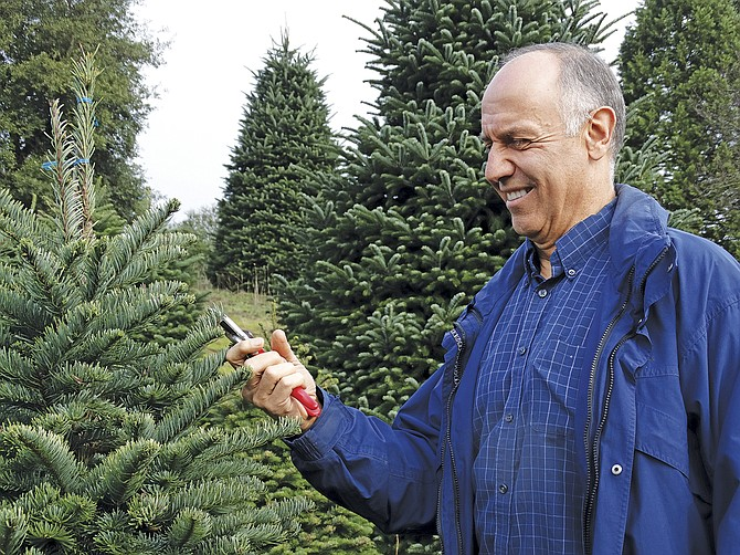 Bob Schaefer starts the work of trimming Noble firs on Noble Mountain Tree Farm in West Salem on Monday. It takes about four months to get each tree trimmed.