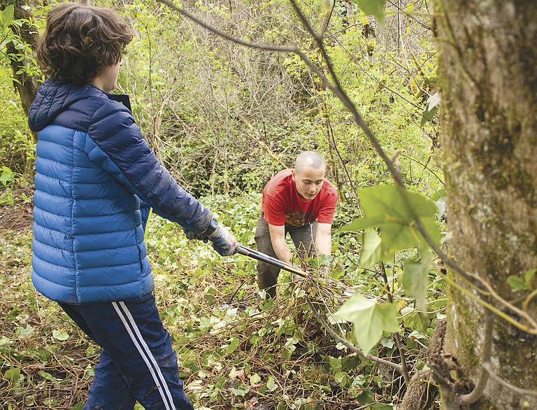 Seth Ellingsworth helps Robbie Phillips pull ivy away from a tree on April 14 at Ritner Creek Park. LVCS students removed the ivy as a community service project.