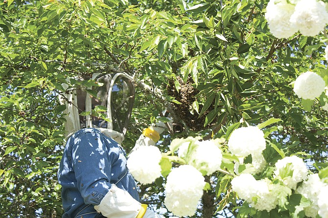Beekeeper Gary Pierce carefully cuts away branches around a swarm of bees in a tree at a home in Dallas last week.