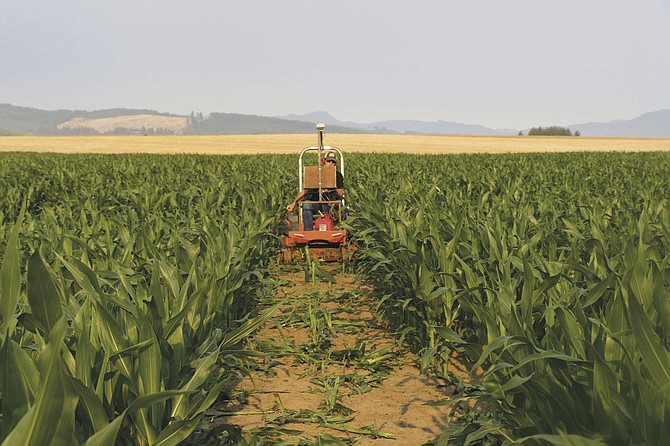 Aaron Kennel keeps up tradition of designing his corn maze each year at Airlie Hills Farm.