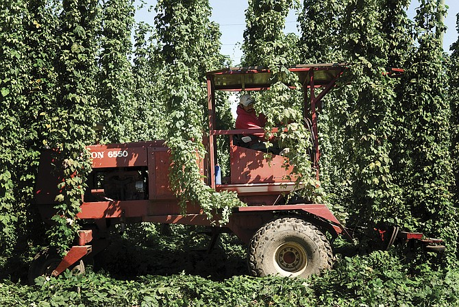 Tractors often are covered in the hop bines during the harvest each year.