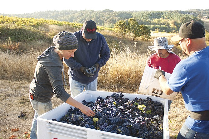 From left, Netanya Welch with Vitis Terra Vineyard Services, left, and owner Namaste Dave Masciorini inspect grape coming off the vines at the vineyard outside of Dallas on Wednesday.
