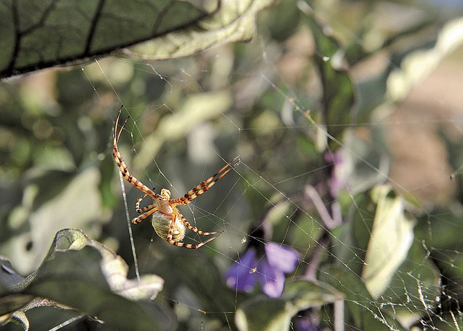 The garden spider is a common sight in the outdoors.