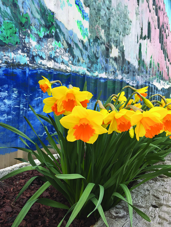 Daffodils have been in bloom along the front of The Hangout in Cottonwood.