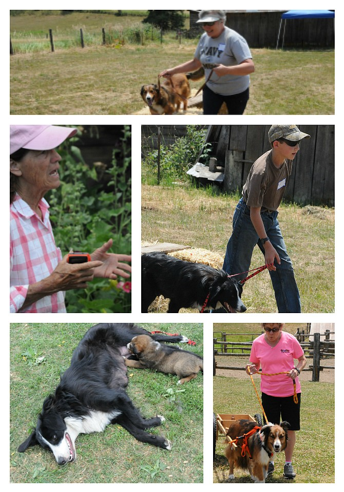 """(Top)Kris Hazelbaker works on an agility course; left, Ginger Busta talks to a shepherd lover; Gabriel Pogue leads his sister's dog; and a female dog nurses her pup; (bottom, right) GailPettinger """"carts"""" with one of her EnglishShepherds."""