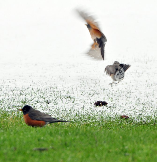 Hungry robins look for food at Indian Creek Golf Course Wednesday afternoon. The second day of spring was marked by a steady drizzle of snow throughout the area.