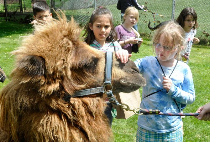 A student her turn petting Calypso the camel at Schreiner Farms in Dallesport. 