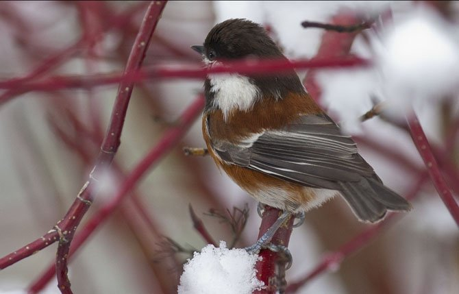 A Chickadee pauses on a snowy branch as it checks out a nearby feeder during heavy snowfall in the foothills of the Oregon Cascades over the weekend. Mark B. Gibson photo