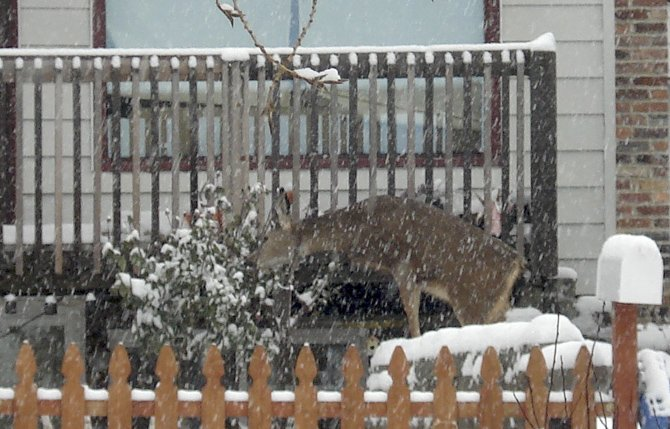 AN ORNAMENTAL SHRUB becomes food for a winter-foraging deer, one of several that grazed through a west The Dalles neighborhood this week.	Neita Cecil photo