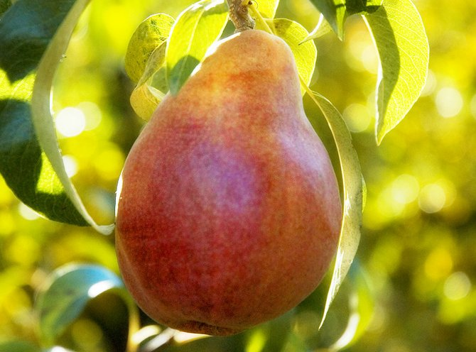 Red Anjou pears like this one will soon have China as a new market.