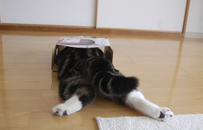 Scottish fold Maru lies down as he dives in a cardboard box in Japan. After years of viral YouTube viewing and millions of shares, the cat stars of the Internet are coming into their own in lucrative and altruistic ways. 