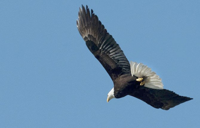 A mature bald eagle passes over downtown The Dalles in this file photo.