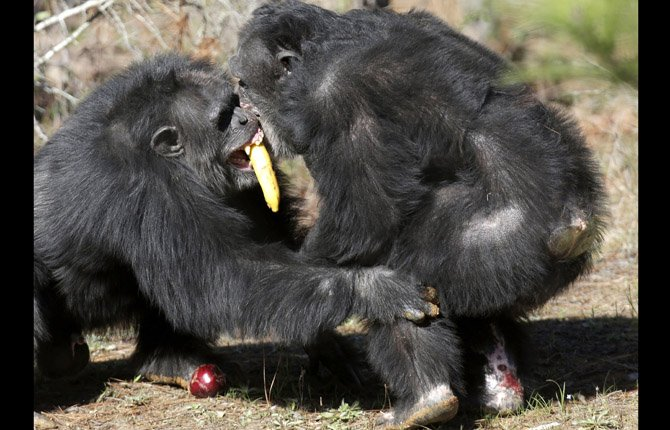 Two chimps tussle for food at Chimp Haven in Keithville, La., Feb. 19. One hundred and eleven chimpanzees will be coming from a south Louisiana laboratory to Chimp Haven, the national sanctuary for chimpanzees retired from federal research.