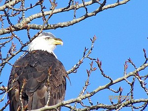 Laurie Collins of Hood River recently snapped this close-up of an American Bald Eagle along the Hood River Waterfront.