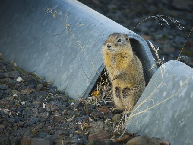A ground squirrel eyes the photographer in a parking lot at Sherman High School, confident in his ability to escape down his metal tunnel if need be.