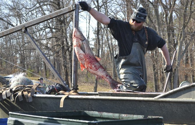Billy Mull, a commercial fisherman from Grand Rivers, Ky., unloads Asian carp from his boat during a fishing tournament that was organized to remove the fast-breeding fish from two western Kentucky lakes on March 13, 2013 in Gilbertsville, Ky. Oregon also has problems with the invasive species.