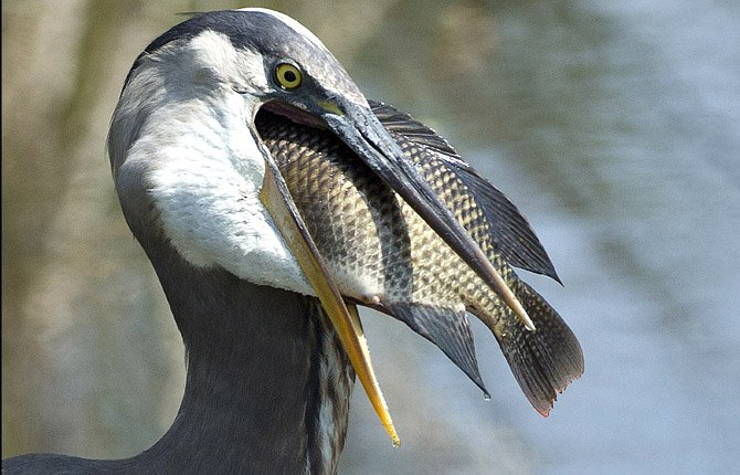 """A Tasty Treat  A Great Blue Heron prepares to swallow a fish at a wetland preserve near Delray Beach, Fla., April 2. Wakodahatchee Wetlands is a bird-watcherís paradise where, for the past three months, itís been nesting and baby season. Wakodahatchee, an oasis of wildlife in suburbia, means """"created waters"""" in the Seminole Indian language."""