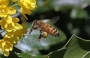 A honey bee loaded with pollen approaches an Oregon grape in a The Dalles garden. Photo courtesy Jason Hinkle.