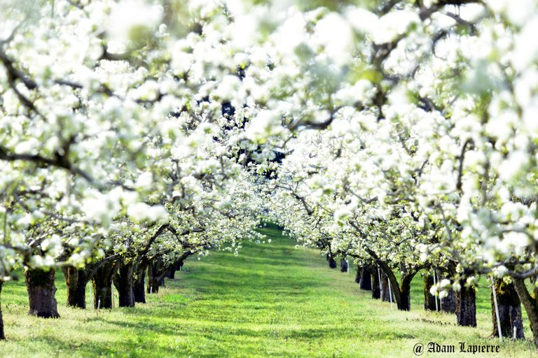 It's blossom time throughout the Hood River Valley. Get out there and enjoy the flowers while they last.
