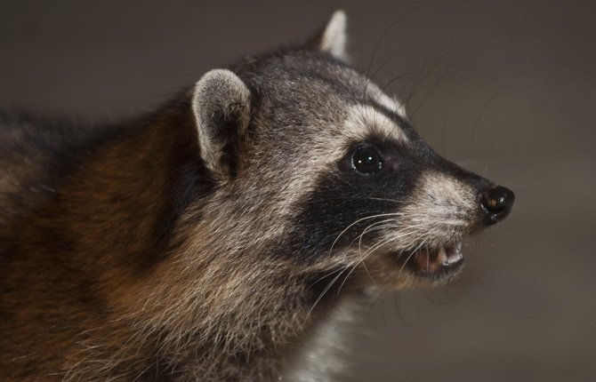 A racoon explores the back porch of a Wasco County home.