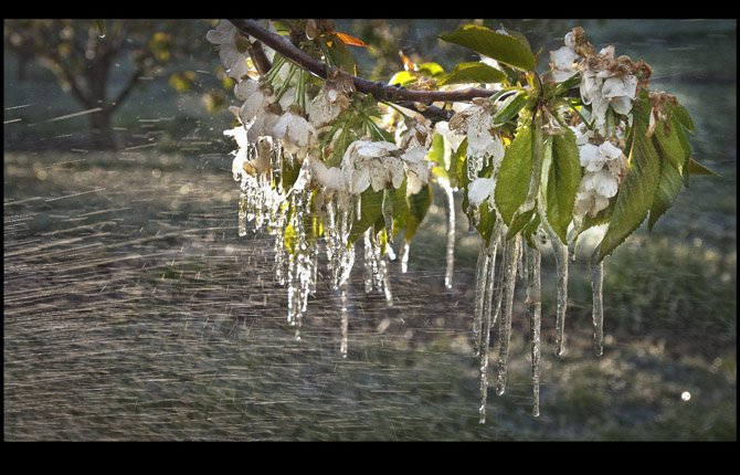 ICICLES FORMED on cherry blossoms along Mill Creek Road as orchardists used irrigation and fans to warm trees early Wednesday morning, April 17.