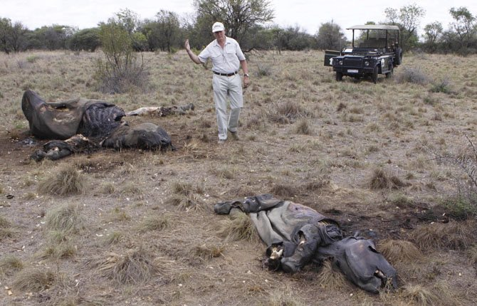 Miles Lappeman, owner of Finfoot Lake Reserve near Tantanana, South Africa, walks past the carcasses of a rhino and it's calf in this Nov. 22, 2012 file photo. Mozambique's rhinoceros population was wiped out more than a century ago by big game hunters. Reconstituted several years ago, it has again been driven to extinction, or to the brink of extinction, by poachers seeking their horns for sale in Asia.