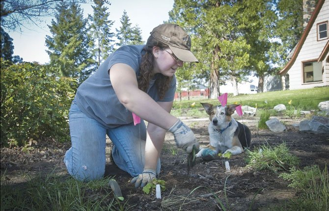 Botanist Christina Wesseler weeds a native planting at the Barlow Ranger District office Thursday, May 2, in Dufur. Watching her work, with a ball cradled hopefully between her paws, is a co-worker's dog named Bingo.