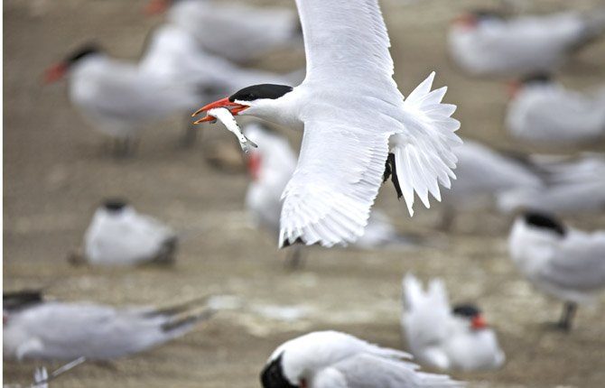 A CASPIAN tern carries its prey, a young salmon, on East Sand Island near Chinook, Washington. The U.S. Army Corps of Engineers announced May 13 that it will not keep killing gulls on East Sand Island near the mouth of the Columbia River. Federal agencies were concerned that gulls eating all the chicks on East Sand Island would make the terns return to an island farther upriver, where they ate millions of young salmon. An environmental study determined that was unlikely to happen.