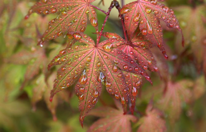 Drops of condensation from early morning fog are shown on the leaves of a Japanese Maple tree  May 16 in Tacoma, Wash.
