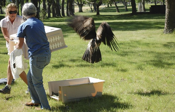 VOLUNTEERS RELEASE rehabilitated bald eagle, shown in close-up below, to the wild at Columbia Hills State Park after treatment at Rowena Wildlife Clinic.
