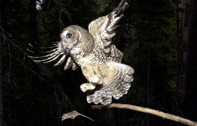 In the West Coast marijuana-growing region known as the Emerald Triangle, scientists want to know whether rat poison spread around illegal pot plantations is killing northern spotted owls, a threatened species. But because it is so rare to find a spotted owl dead in the forest, the scientists will look at barred owls, an invasive cousin owl that's pushing spotted owls out of their territory. About half the barred owls tested so far have shown rat poison in their tissues.