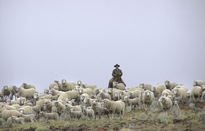 BLAIN CARVER, above, on his horse, Danny, brings in the lambs at Imperial Stock Ranch. He is among the younger generation on the ranch.