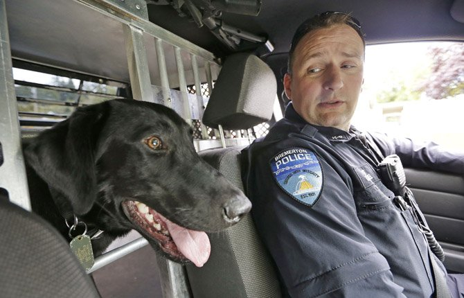 drug-sniffing police dog Dusty sticks his head into the front seat as handler Officer Duke Roessel patrols in Bremerton, Wash. The newest drug-sniffing dog on the police force in Bremerton, near Seattle, is one of a few police dogs in Washington state that are not trained to point out pot during searches. Other police departments are considering or in the midst of re-training their dogs to ignore pot as well.