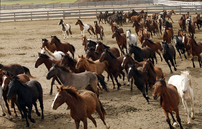 WILD HORSES run around in a fenced field at the Stewart Conservation Camp in Carson City, Nev., May 17.