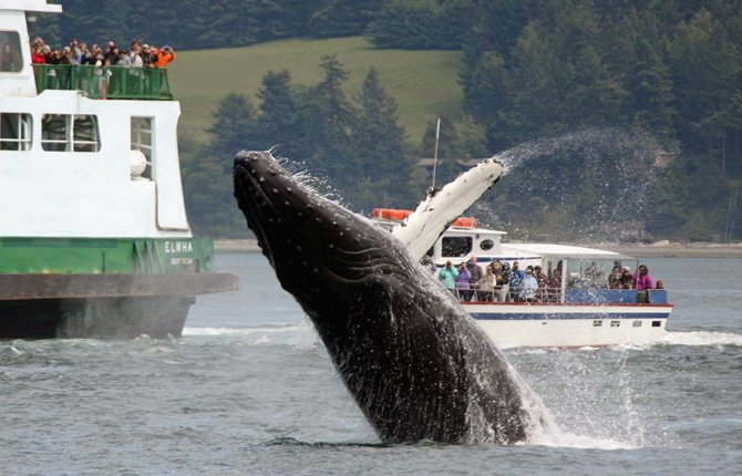 A humpback whale breaches into view of a state ferry and a tour boat in the San Juan Channel near Friday Harbor, Wash.