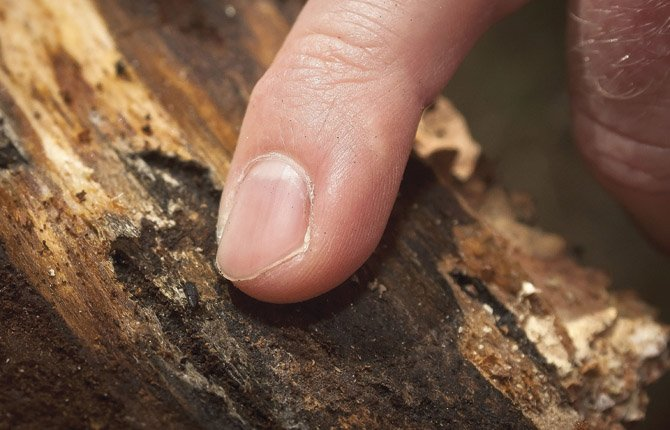 THE TINY CALIFORNIA Fivespined Ips beetle, pictured above near the end of Chet Behling's fingertip on a ravaged tree, is causing damage to timber around the gorge. Below, Behling, Oregon Department of Forestry stewardship forester for the Central Oregon District Office in The Dalles, stands next to an infested tree with brown needles.