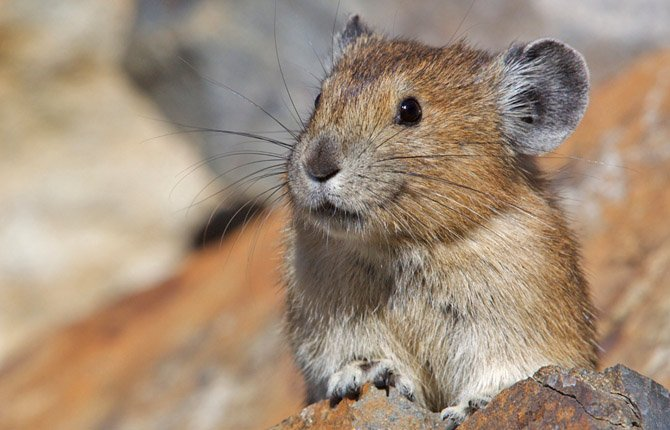AN AMERICAN PIKA PEEKS over a rock outcrop in Washington's North Cascades National Park. The Oregon Zoo is seeking volunteers this summer for Pika Watch, a citizen science project aimed at studying changes in the Columbia Gorge pika population.