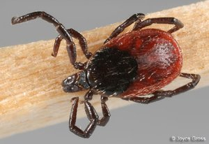 "The Western black-legged tick is responsible for local cases of Lyme disease. If you are bitten by a tick that looks like this, do not wait to detect a ""bulls-eye rash"" because many people don't ever manifest a rash."