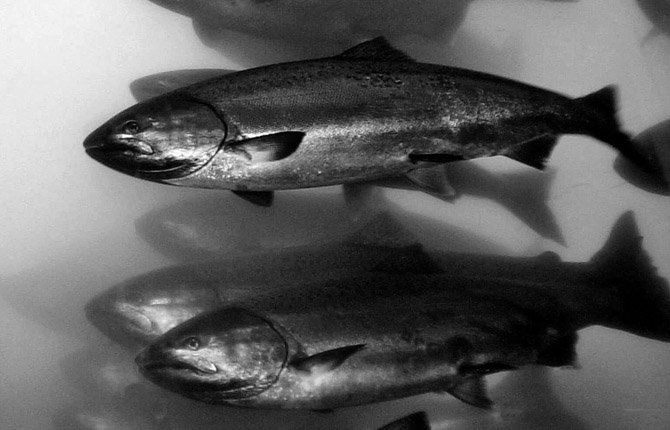 Salmon that average 2-3 feet in length, pass through the fish ladder at Bonneville Dam in North Bonneville, Wash., in this April 10, 2001 file photo.