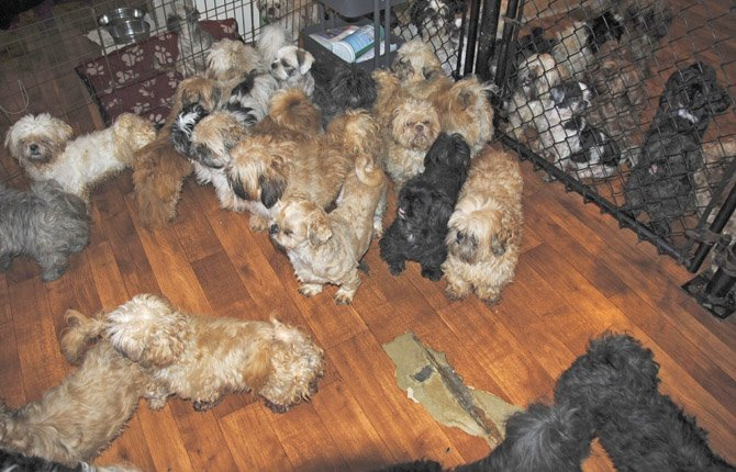 THESE SHIH Tzus are among the ones surrendered to Home at Last Humane Society by a dog breeder who couldn't sell their dogs fast enough.