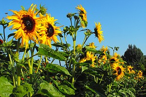 Fields of colorful sunflowers can be seen at Rasmussen Farms throughout the month of August.