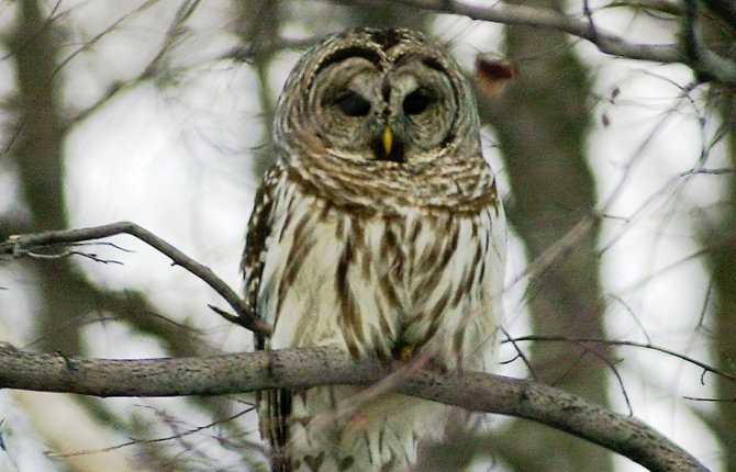 The U.S. Fish and Wildlife Service plans to start sending hunters into the woods of the Northwest to kill barred owls, above, in an experiment to see if that will help the threatened northern spotted owl rebound from population declines. 