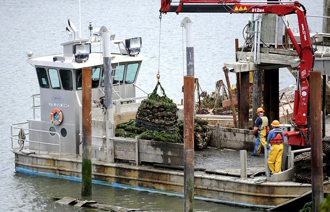 Workers at Clausen Oysters in North Bend, Ore. unload bags of seeded oyster shells gathered from Horsfall Beach on July 30.