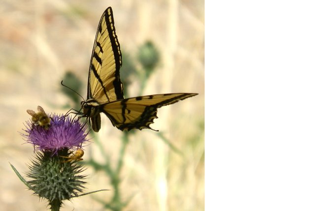 """A SWALLOWTAIL BUTTERFLY, a honeybee and a spider share real estate on this thistle bloom in the Mt. Hood National Forest south of The Dalles. """"The breeze was blowing and all three subjects were constantly moving,"""" said photographer Brent Larson. """"Then using macro photography made getting a photo somewhat dicey.""""Contributed photo"""