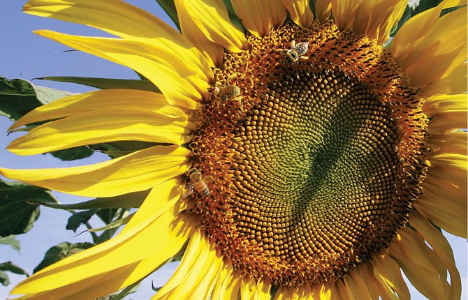 Honey bees gather pollen on a giant sunflower near Benton City Monday afternoon Aug. 12. Temperatures are predicted to remain in low 80s in the Columbia Gorge through the week, according to the National Weather Service. 	AP Photo/Tri-City Herald, Richard Dixon